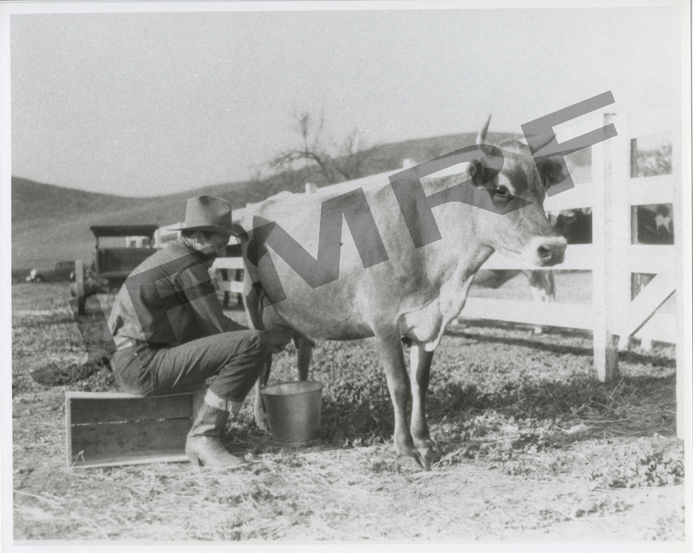 Joel McCrea milking a cow on his ranch.